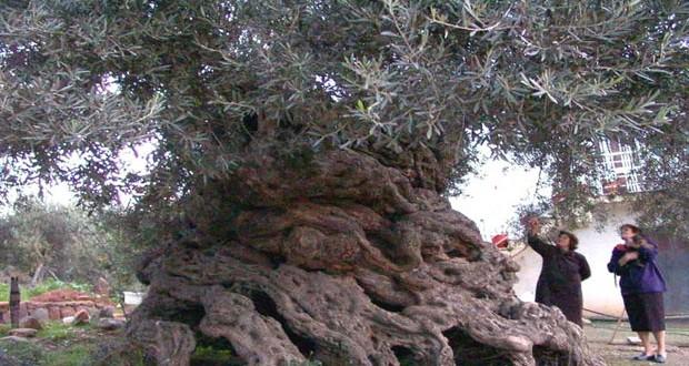 Στην Κρήτη τα αρχαιότερα δένδρα στον κόσμο!- Ελιές ηλικίας χιλιάδων ετών που ακόμα βγάζουν καρπούς!