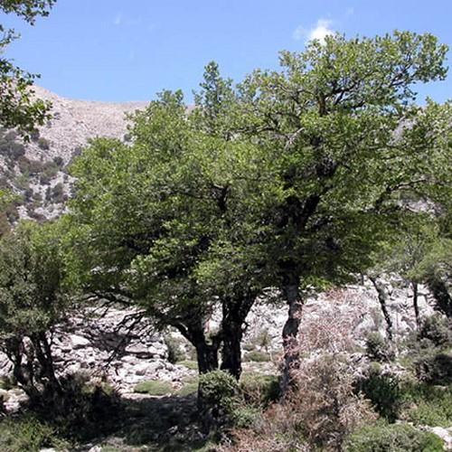 Την Αμπελιτσιά ή Ανέγνωρο τη συναντάμε σήμερα κυρίως πάνω από 1000 μέτρα υψόμετρο, στην περιοχή των Λευκών ορέων (δύο συστάδες και μερικές απομονωμένες στο οροπέδιο Ομαλού μέχρι καταφύγιο Καλλέργη) και λίγα δένδρα στη Δίκτυ στο Λασίθι και στον Ψηλορείτη.