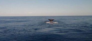 Φάλαινες στην Κρήτη προκαλούν θαυμασμό και δέος (video)