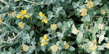 Μαλοτήρα: Το κρητικό τσάι του βουνού με τις πολλές ευεργετικές ιδιότητες