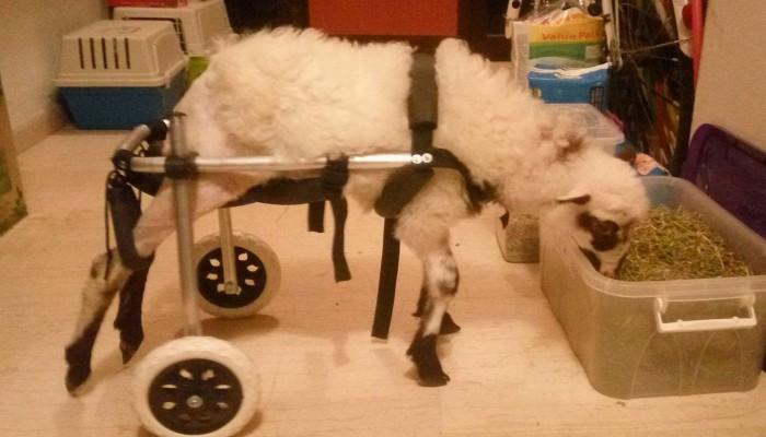 Αναπηρικό καροτσάκι για το παράλυτο αρνάκι που βρέθηκε στον Ψηλορείτη