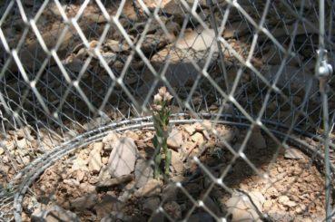 Το σπάνιο φυτό που απ'όλο τον κόσμο υπάρχει μόνο στην Κρήτη