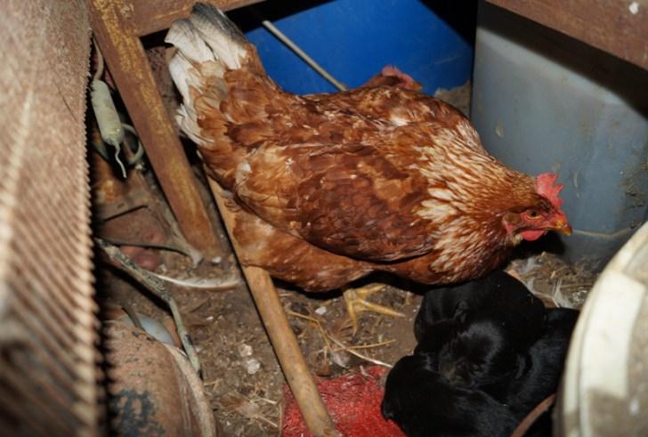 Η κότα στην Κρήτη που υιοθέτησε τρία κουταβάκια!