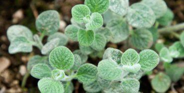 Έρωντας: Το θεραπευτικό και αφροδισιακό βότανο που φυτρώνει μόνο στην Κρήτη