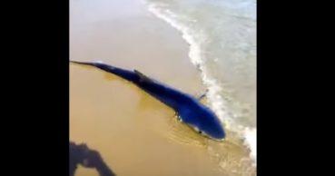 Καρχαρίας βγήκε σε παραλία των Χανίων (video)