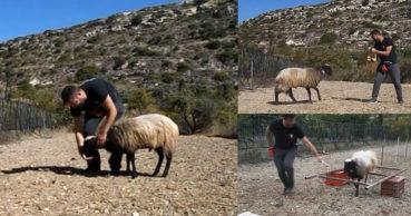 Φοιτητής στην Κρήτη εκπαίδευσε κριάρι για την πτυχιακή του (video)