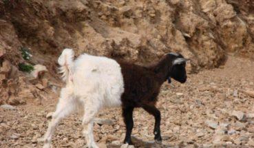 Το δίχρωμο κατσικάκι στα Βορίζια Ηρακλείου